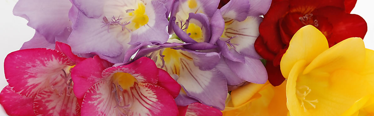 Freesias By Post Guernsey Freesias By Post Fletchers