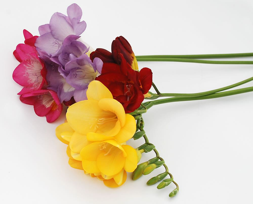 Flowers By Post From Guernsey Freesias