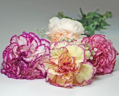 10 Carnations by Post - £19.95