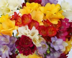 100 Freesias by Post - £65.95